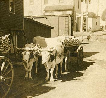 oxen.